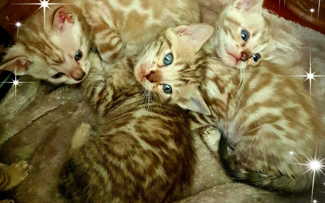 We have bengal kittens available!
